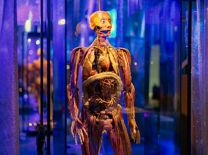 Anatomisk docka, del av uställningen Human Nature på Tekniska museet
